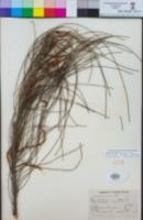Allocasuarina distyla image