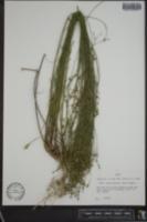 Linum rupestre image
