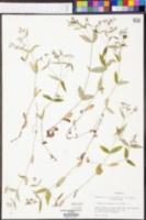Hedyotis purpurea image