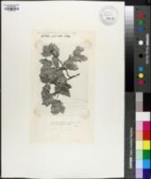 Image of Quercus tardifolia