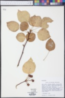 Pyrus calleryana image
