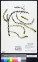 Elodea canadensis image