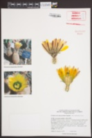 Echinocereus dasyacanthus image