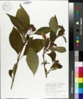 Image of Dichroa febrifuga