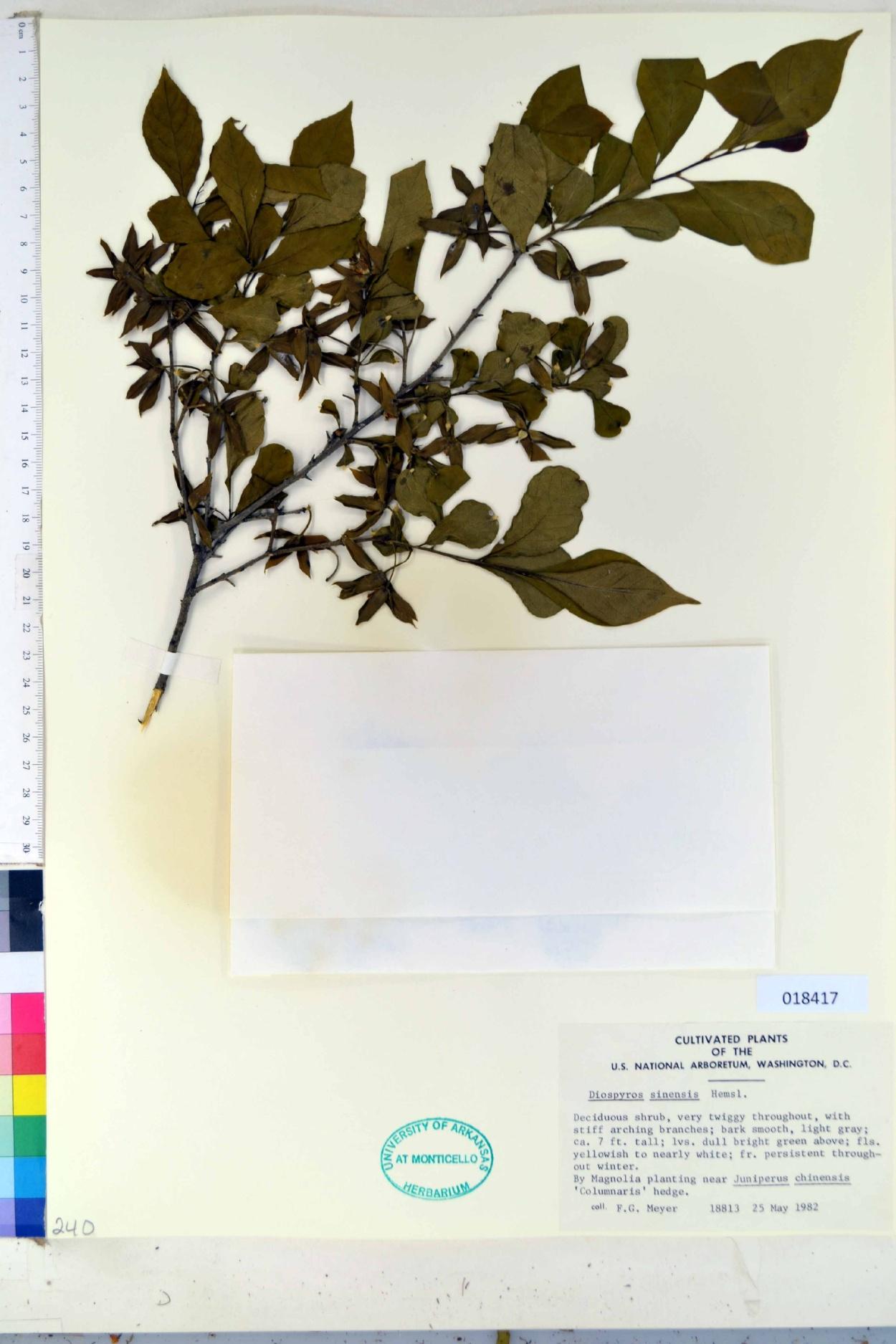 Diospyros sinensis image