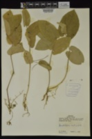 Aristolochia reticulata image
