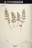 Image of Asplenium canariense