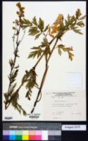 Image of Thalictrum flavum