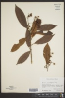Saurauia angustifolia image