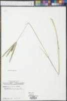 Paspalum notatum image