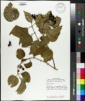 Image of Jasminum marianum