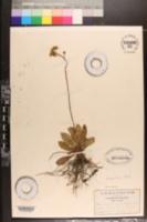 Image of Erigeron nudicaulis