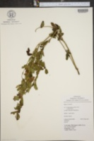 Image of Bystropogon canariensis