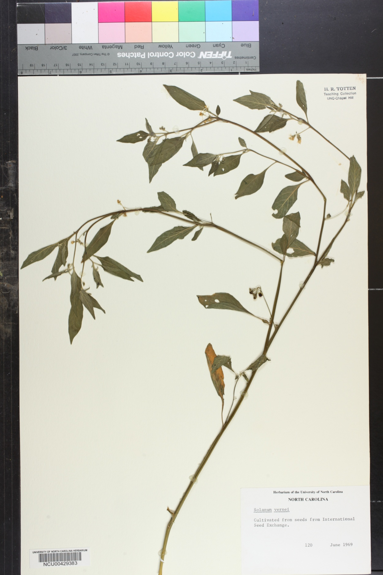 Solanum vernei image