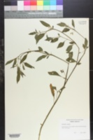 Image of Solanum vernei