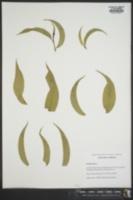 Image of Prunus myrtifolia