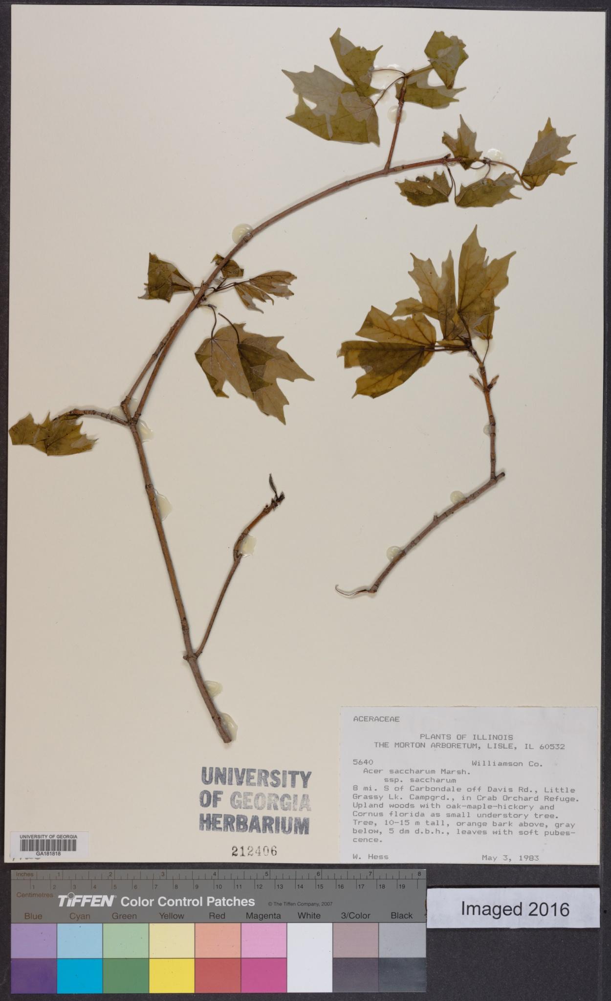 Acer saccharum subsp. saccharum image