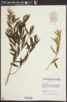 Iva frutescens image