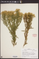 Euthamia leptocephala image