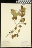 Image of Crataegus rubella