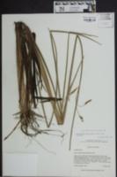 Schoenoplectus etuberculatus image