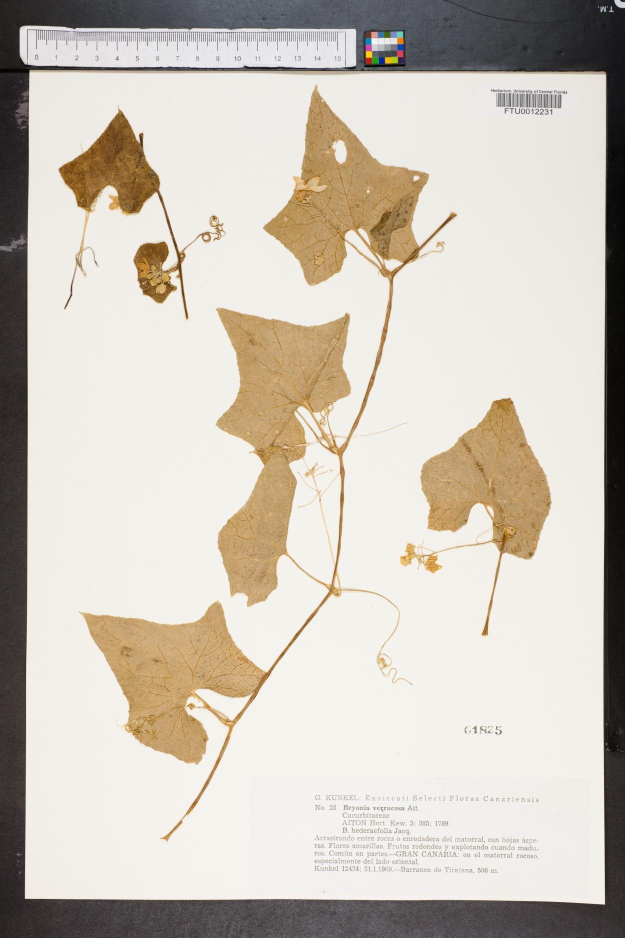 Bryonia verrucosa image