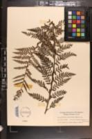 Image of Asplenium acuminatum
