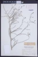 Image of Adesmia argentea
