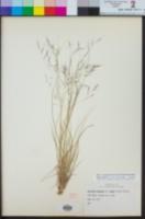 Aristida ternipes image