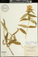Image of Gentiana flavida
