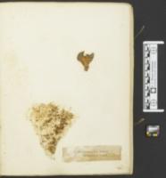 Agaricus salignus image