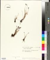 Image of Schizaea fistulosa