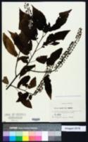 Image of Prunus ssiori