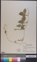 Image of Glycine javanica