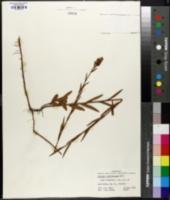Ludwigia suffruticosa image