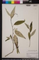 Populus trichocarpa image