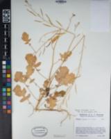 Brassica fruticulosa image