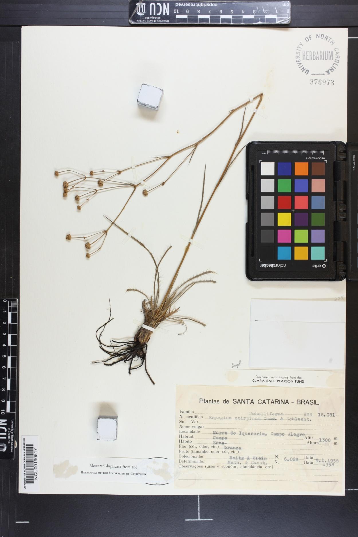 Eryngium scirpinum image