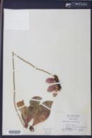 Sarracenia purpurea image
