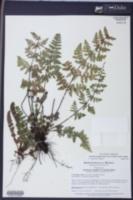 Image of Myriopteris longipila