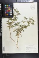 Flaveria trinervia image