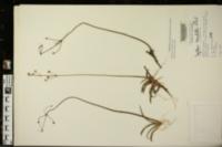 Image of Sagittaria secundifolia