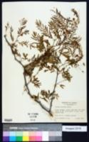 Image of Acacia acuifera