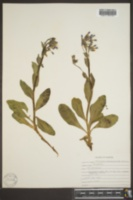 Mertensia macdougalii image
