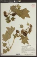 Image of Kitaibela vitifolia