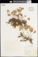 Bommeria hispida image
