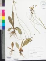 Image of Hieracium venosum