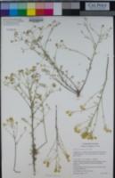 Image of Alyssum corsicum