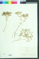Image of Euphorbia exigua