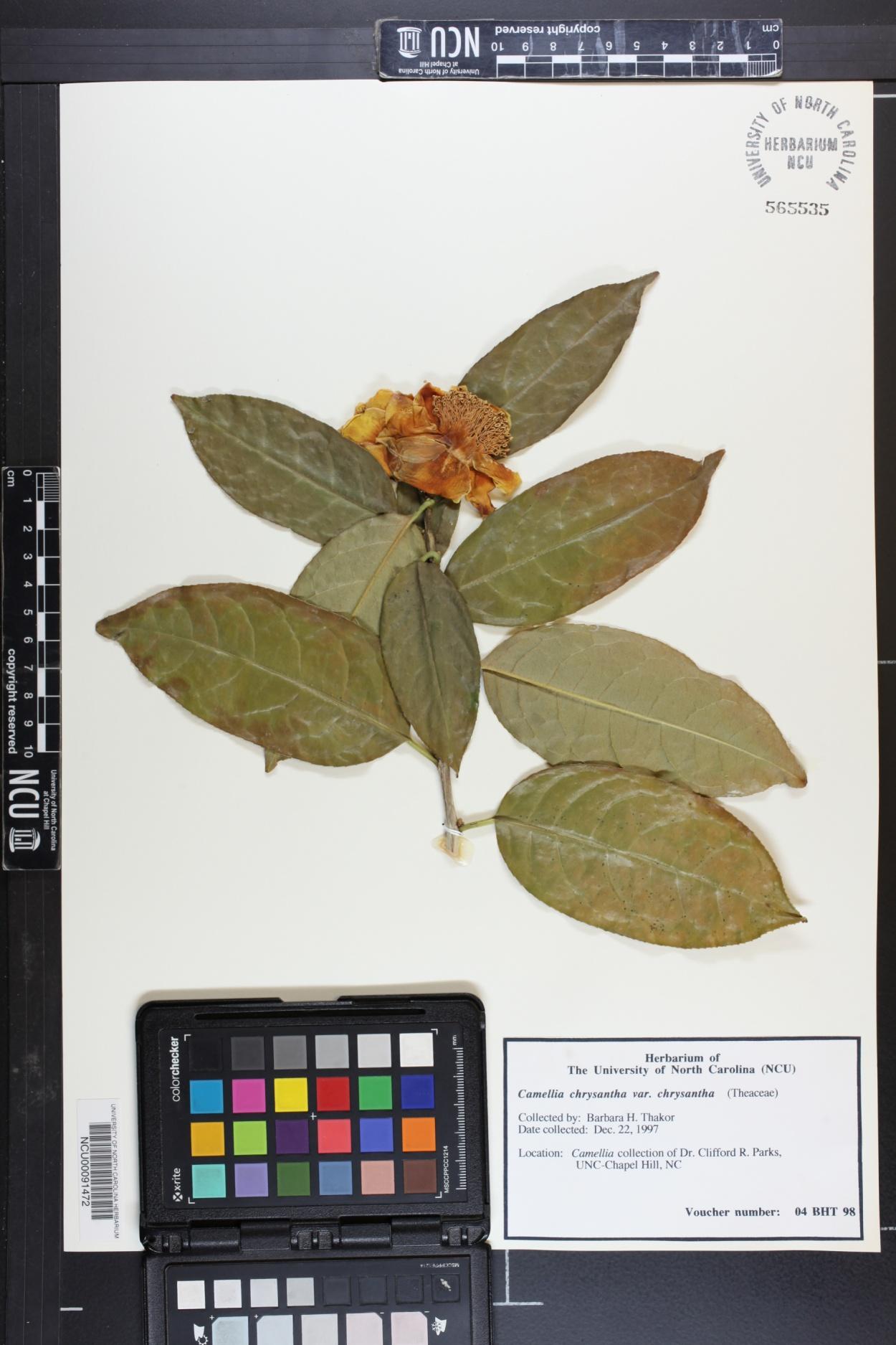 Camellia chrysantha image